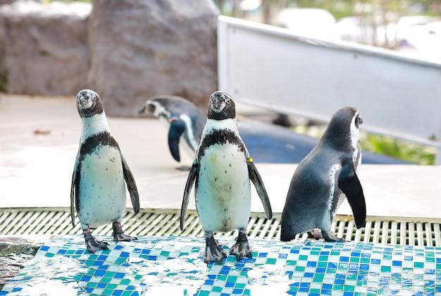 Humboldt-pinguin (spheniscus humboldti) Premium Fotos