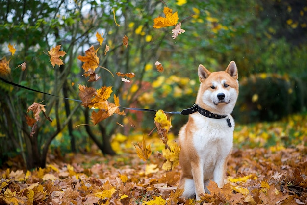 Hund akitas inu beim sitzen im herbstlaubpark Premium Fotos