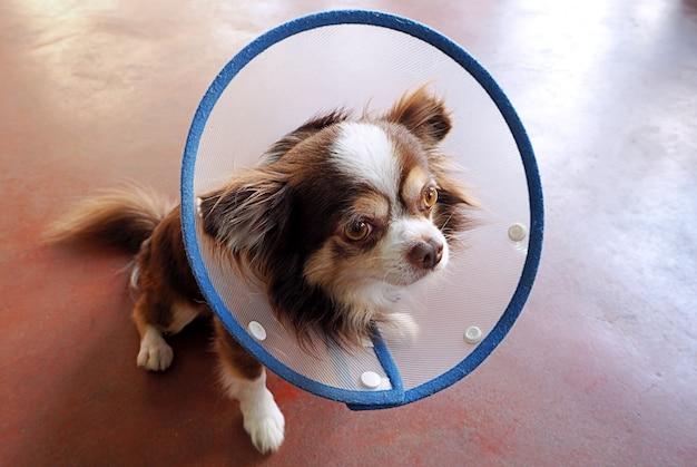 Hund chihuahua Premium Fotos