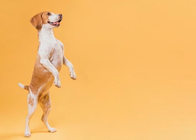 Hund, der auf hinterbeinen mit kopienraum steht Premium Fotos