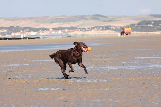 Hund, der ball auf dem strand im sommer spielt Premium Fotos