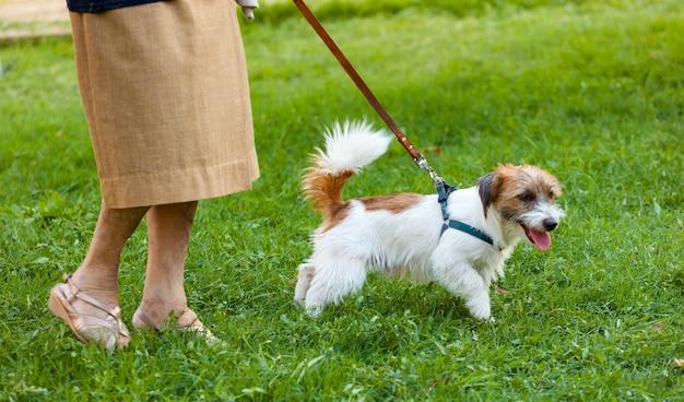Hund, der die leine des älteren besitzers zieht. Premium Fotos