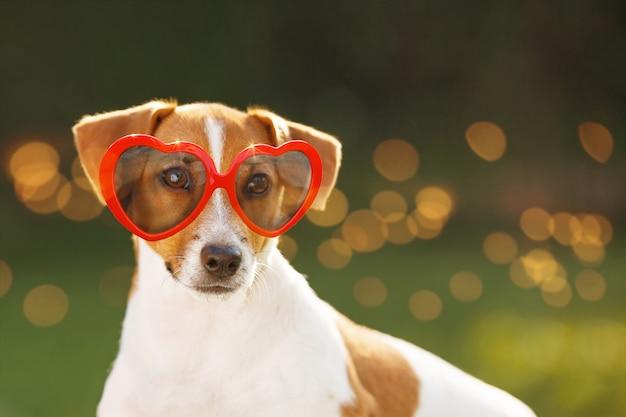 Hund, der in den gläsern, versteckten augen, weicher fokus sich sonnt. Premium Fotos