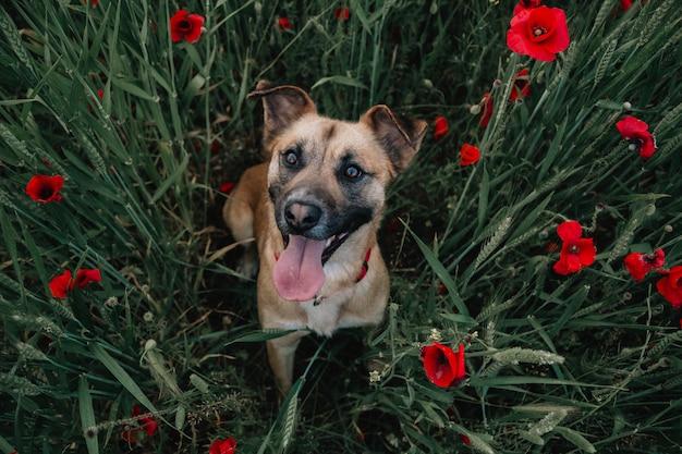 Hund in den mohnblumen Premium Fotos