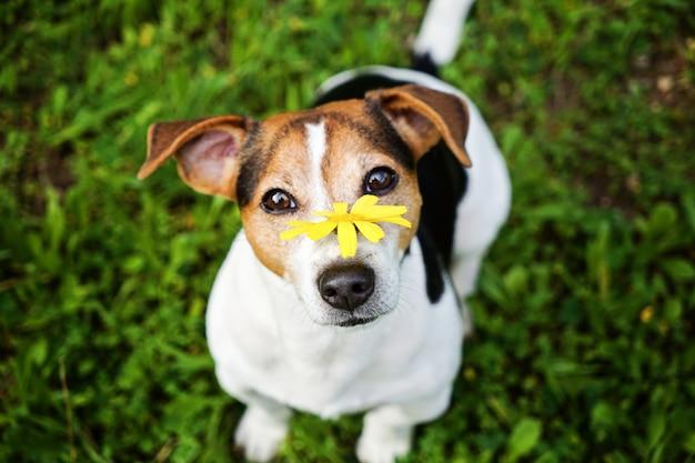 Hund mit der gelben blume, die kamera betrachtet Premium Fotos