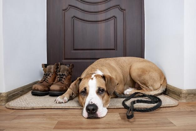 Hund mit einer leine, die auf einen weg wartet. staffordshire-terrierhund mit einer leine, die auf einer fußmatte nahe der haustür der wohnung liegt. Premium Fotos