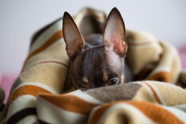Hund schläft unter der decke Premium Fotos