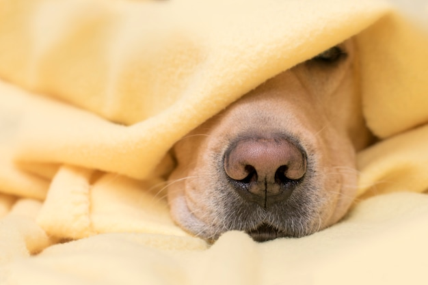 Hund schläft unter einem gelben plaid. nasennahaufnahme. konzept von komfort, wärme, herbst, winter. Premium Fotos