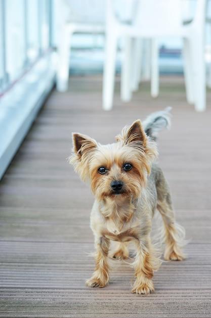 Hund yorkshire terrier mit kurzen haaren Premium Fotos