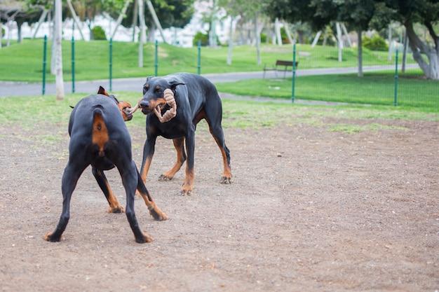 Hunde des zucht dobermanns, der mit einem seil in ihren schnauzen im parkland spielt Premium Fotos