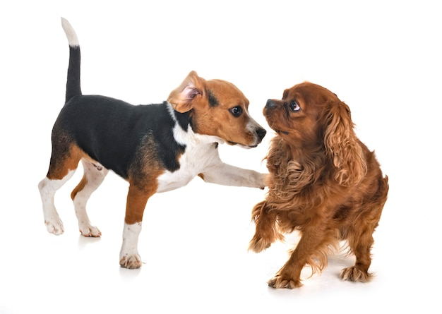 Hunde spielen im studio Premium Fotos