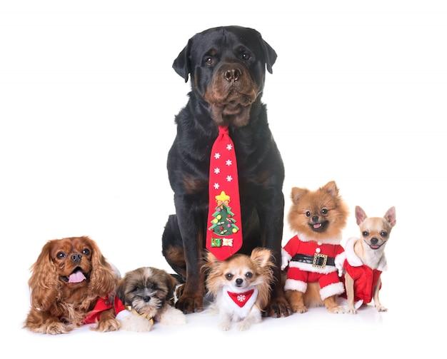 Hunde und weihnachten Premium Fotos