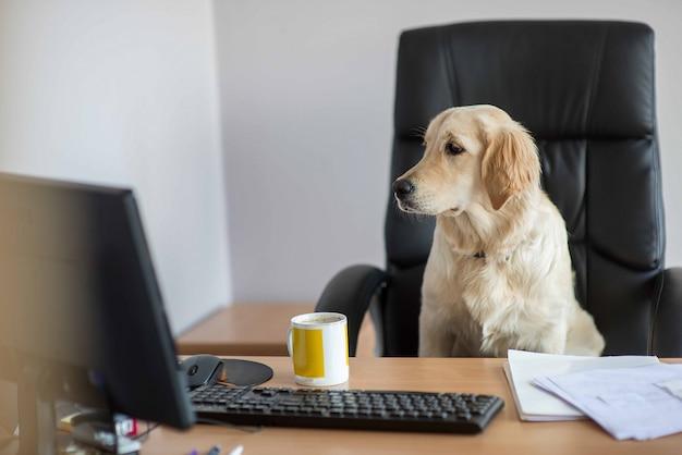 Hundegolden retriever, die im büro arbeiten Premium Fotos