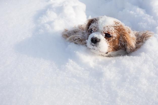 Hundekavalier könig charles spaniel bedeckt mit schnee, der sich im winter auf schneebedecktem feld bewegt. Premium Fotos