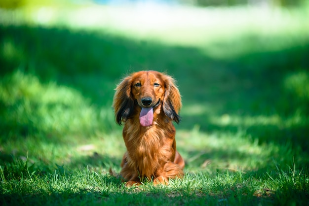 Hunderasse-dachshund im wald in einer sonnigen reinigung. Premium Fotos