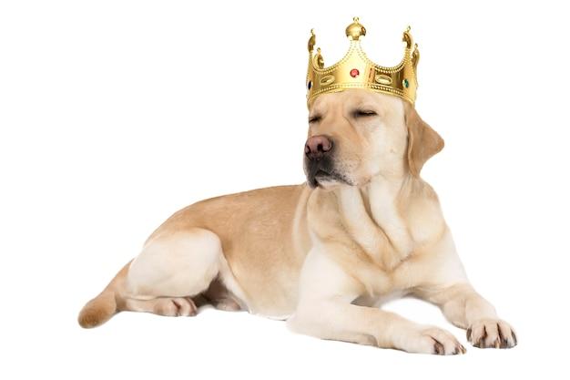 Hunderasse labrador in einer krone Premium Fotos