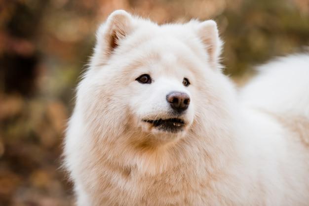 Hunderasse samojede in einer naturlandschaft Premium Fotos