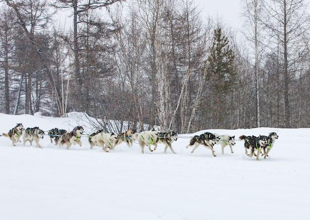 Hundeschlitten läuft auf einer winterlandschaft Premium Fotos