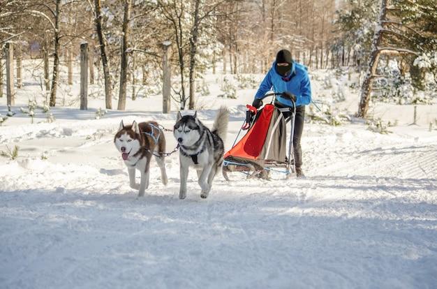 Hundeschlittenrennen. mann musher und schlittenhund hund team Premium Fotos
