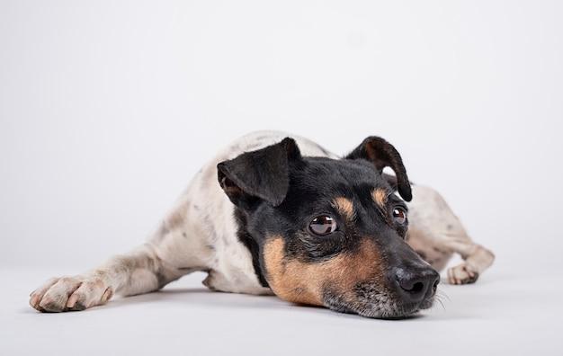 Hundewächter, der mit traurigem blick auf weißem hintergrund hinlegt Premium Fotos