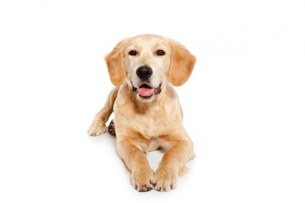 Hundewelpe des goldenen apportierhunds lokalisiert auf weiß Premium Fotos