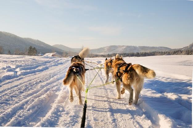 Husky hundeschlitten Premium Fotos