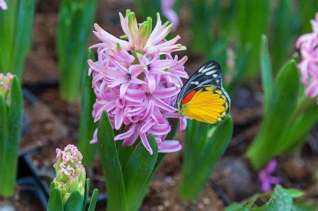 Hyacinth flower und schmetterling im garten Premium Fotos