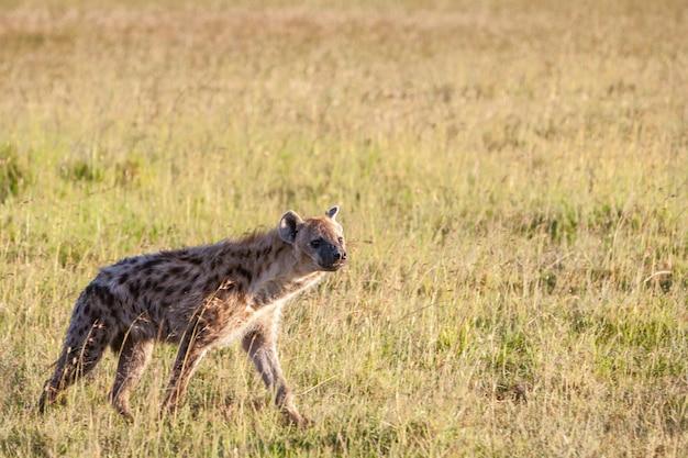 Hyäne in der ebene Kostenlose Fotos