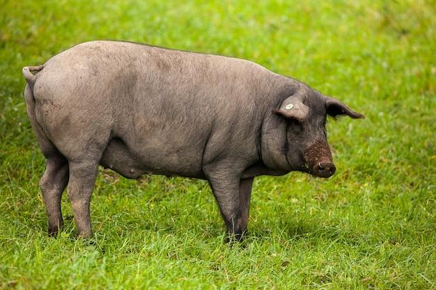 Iberisches schwein, das in der weide weiden lässt Premium Fotos