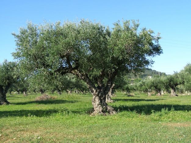 Im alten olivenbaumgarten. griechenland Premium Fotos