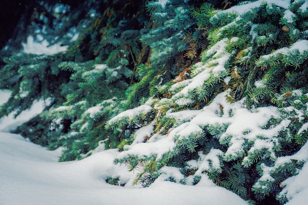 Immergrüne bäume im winter Premium Fotos