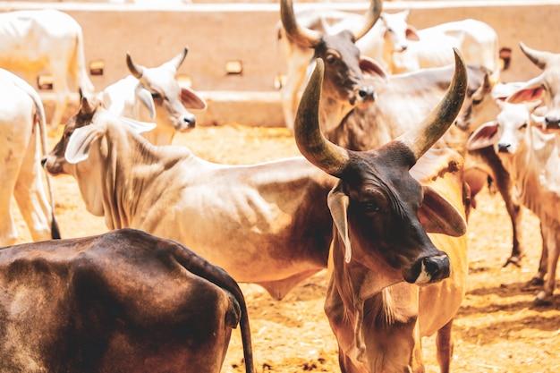 Indische milchwirtschaft, indisches vieh Premium Fotos