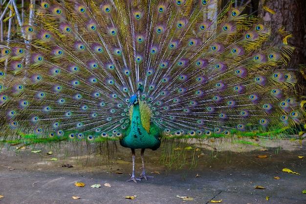 Indische pfau (pavo cristatus) pfau Premium Fotos