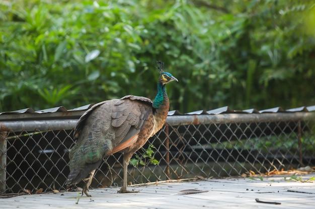 Indischer peafowl (blauer peafowl), ein großer und bunt gefärbter vogel. Premium Fotos