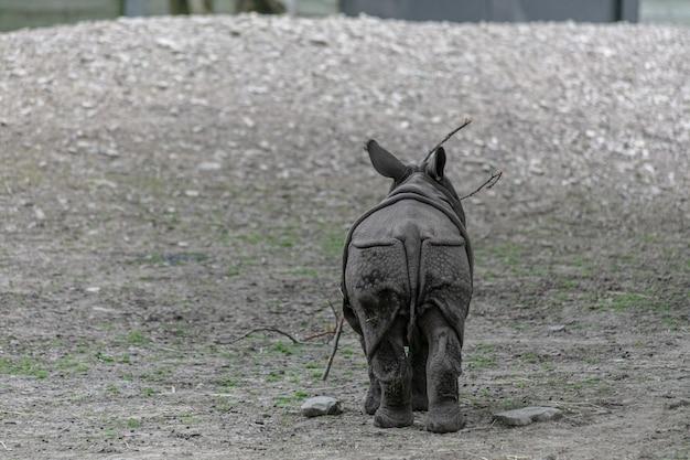 Indisches nashorn, das durch ein feld in einem zoo geht Kostenlose Fotos