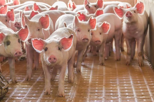 Industrieschweine brüterei, um sein fleisch zu verbrauchen Premium Fotos
