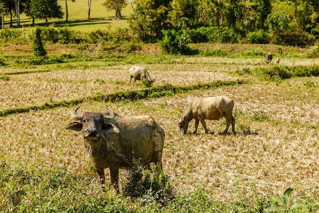 Inländischer wasserbüffel steht auf einem reisfeld und schaut in die kamera, laos Premium Fotos