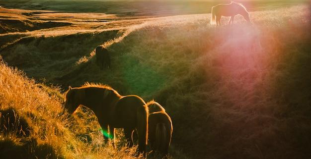 Isländische landschaften, sonnenuntergang in einer wiese mit pferden, die hintergrundbeleuchtung weiden lassen Premium Fotos