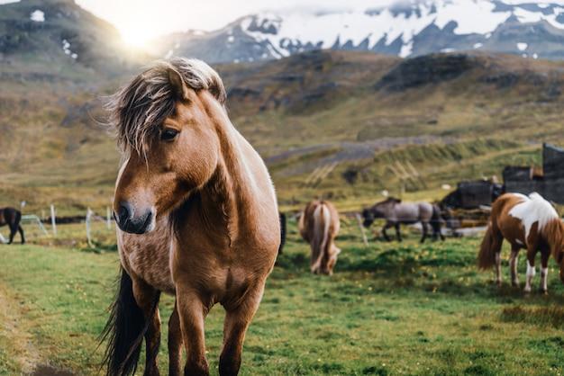 Islandpferd in landschaftlich reizvoller natur von island. Premium Fotos