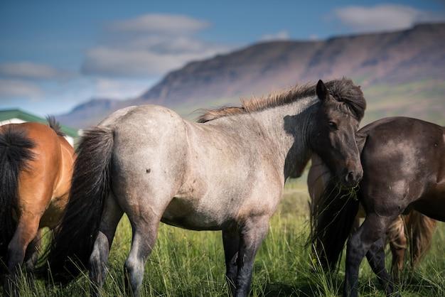 Islandpferde und wunderschöne landschaft Premium Fotos