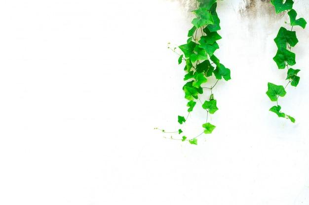 Ivy gourd auf grauer betonmauer. rebe grüne natur hintergrund mit platz für text Premium Fotos
