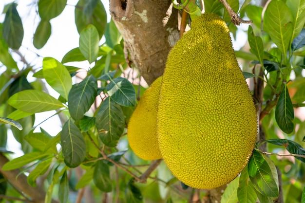 Jack-frucht auf baum im garten der biologischen landwirtschaft Premium Fotos