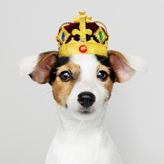 Jack russel trägt eine krone Kostenlose Fotos