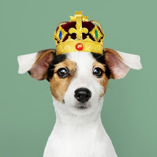 Jack russel trägt eine krone Premium Fotos