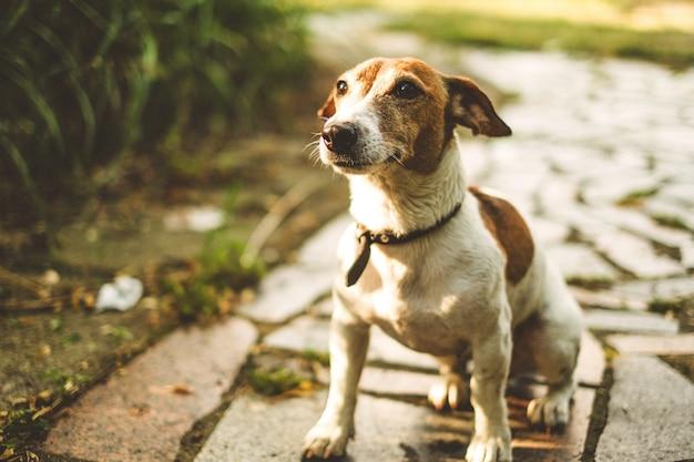 Jack russell hund sitzt auf einer fliese und wartet auf teams, schaut nach oben Premium Fotos