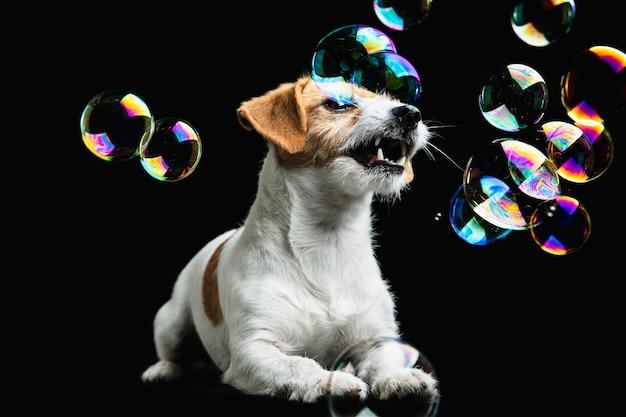 Jack russell terrier kleiner hund posiert. nettes verspieltes hündchen oder haustier, das auf schwarzem studiohintergrund spielt. Kostenlose Fotos