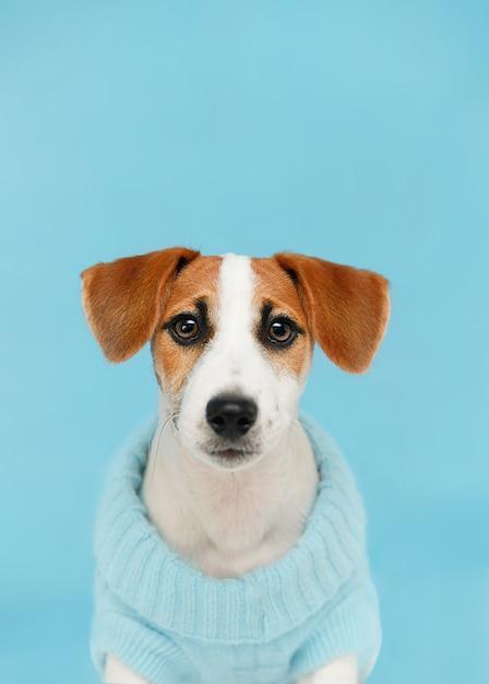 Jack russell terrier-welpe, der auf dem bretterboden auf blauem wandporträt sitzt. Premium Fotos