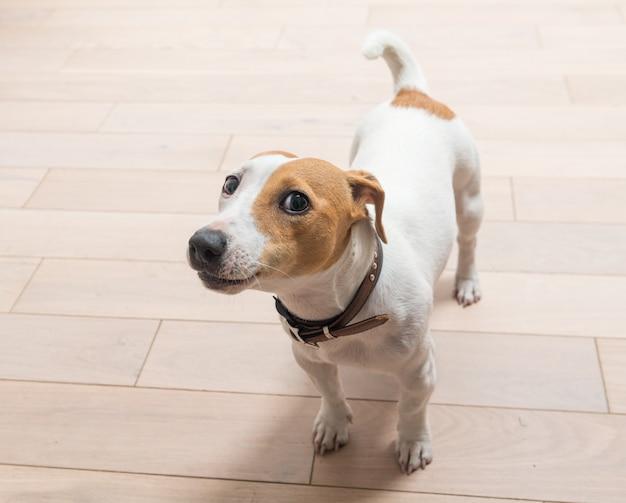 Jack russell terrier zu hause Kostenlose Fotos