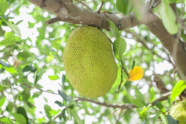 Jackfrucht auf dem baum mit grünen blättern verwischen hintergrund, baby grüner jackfrucht. Premium Fotos