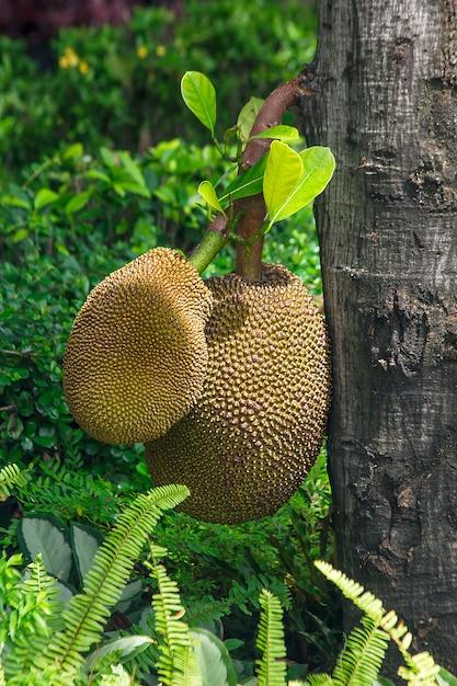 Jackfrucht, die mit dem stamm ist ist eine köstliche gelbe frucht Premium Fotos